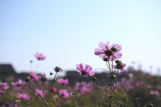 花いっぱい運動のコスモス