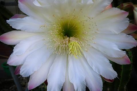 鬼面角の花、正面図